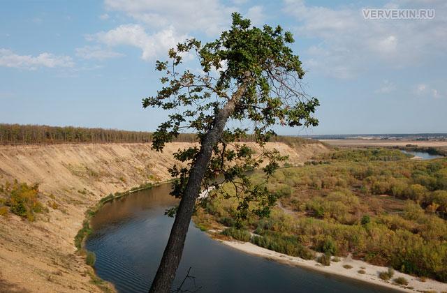 Кривоборье (Воронеж): растущий на краю обрыва дуб